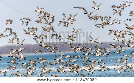 Canvasback Duck Chaos