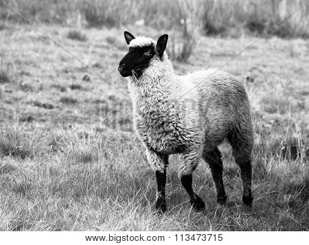 Black-faced Suffolk sheep on pasture