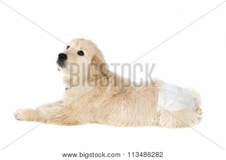 Golden Retriever Puppy In Dog Diapers Looks Down. Isolated On White.