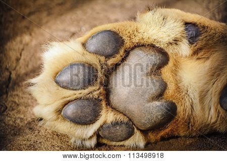 Paw Of Lion