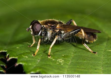 Xylota segnis hoverfly