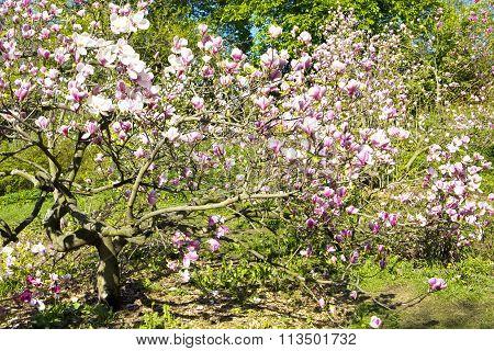 Pink magnolia in blossom recorded in botanic garden of academic Fomin in Kiev.