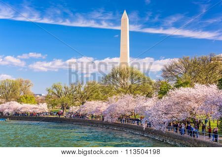 WASHINGTON DC - APRIL 10, 2015: Crowds walk below cherry trees and the Washington Monument during the spring festival.