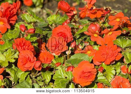 Flower bed with many flowers begonia of red colour.