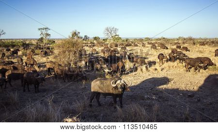 African Buffalo Herd In Kruger National Park
