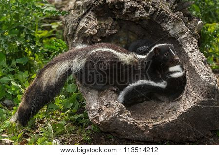 Striped Skunk (mephitis Mephitis) Glances Away From Kits