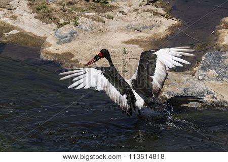 Specie Ephippiorhynchus senegalensis family of Ciconiidae, Saddle-billed Stork In Kruger National Park poster