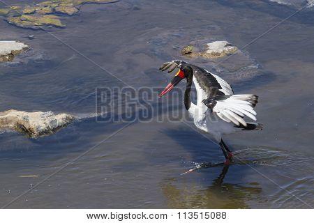 Saddle-billed Stork In Kruger National Park