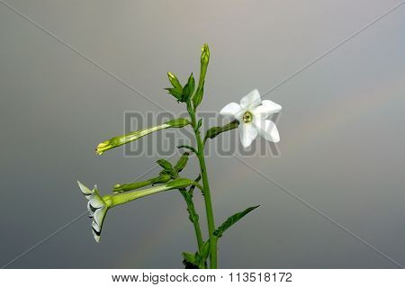 Jasmine Tobacco Flowers Against Sky