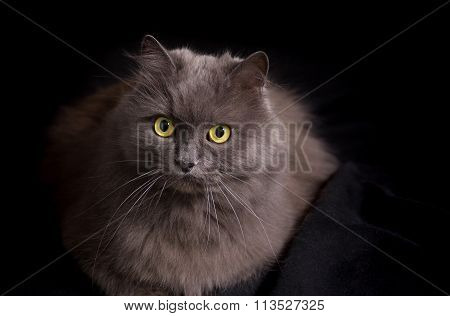 Crossbreed of siberian and persian cat on a black background