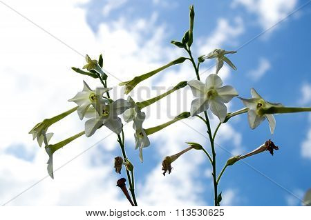 Looking up at a cluster of white jasmine tobacco flowers against a blue and cloud filled sky. Nicotiana alata also known as persian or winged tobacco. poster