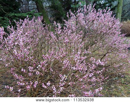 Blooming daphne ordinary or wolf bast (Daphne mezereum)