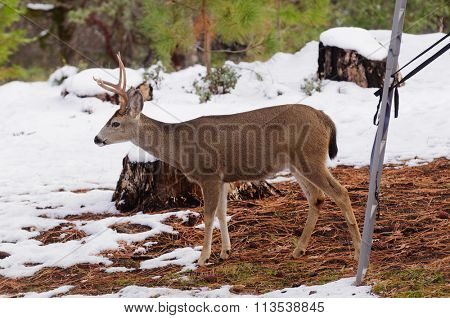 Black-tailed deer in the winter walking beneath a hunter's tree stand