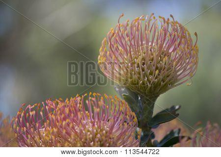 Leucospermum Cordifolium, Nodding Pincushion Flowers