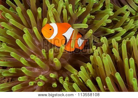 Clow Anemone Fish