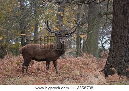 Red Deer (cervus Elaphus) In Woodland Setting In Autumn