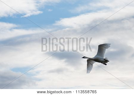 Trumpeter swan (Cygnus buccinator) in flight with a cloudy sky
