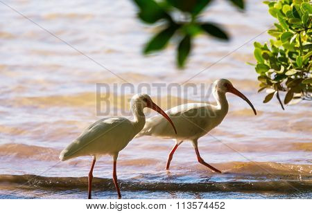 White Ibis  in a Shallow Pond - Florida