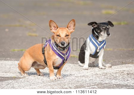 Two Terrier Dogs