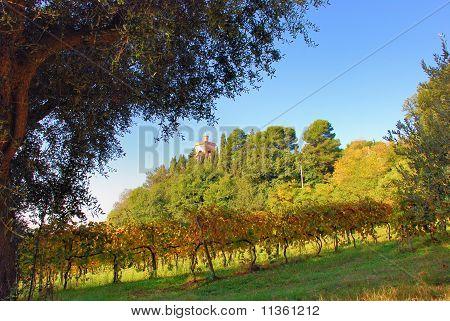 Vineyard and big oak