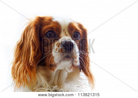 King Charles Spaniel On White Background
