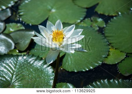 Beautiful White Color Waterlily Or Lotus Flower
