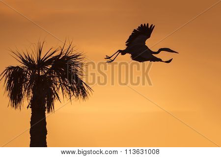 Great Blue Heron Leaving Its Nest At Sunrise - Florida