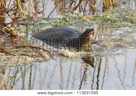 Florida Soft-shelled Turtle Basking In A Marsh