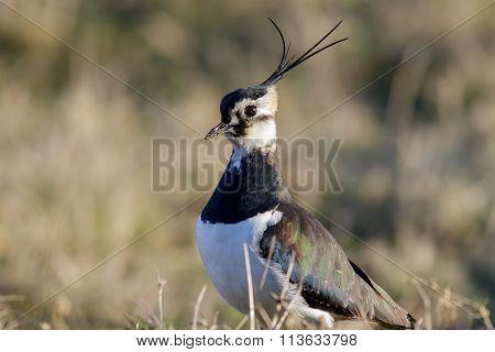 Male Lapwing (vanellus Vanellus)