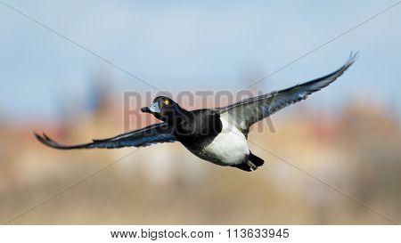 Tufted Duck (aythya Fuligula) In Flight