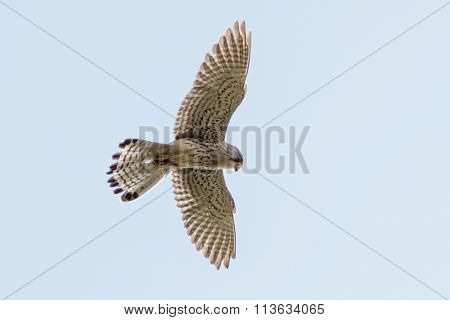 Common Kestrel (falco Tinnunculus) In Flight