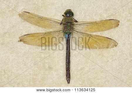 Female Emperor Dragonfly (anax Imperator), Deceased