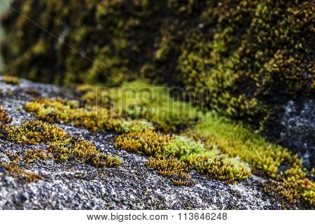 moss close up view growing on stone
