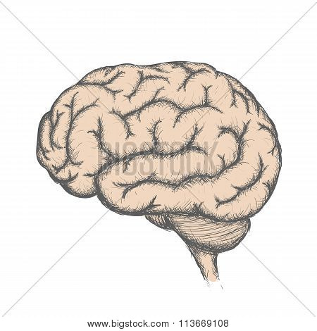 Human Brain. Stock Illustration.