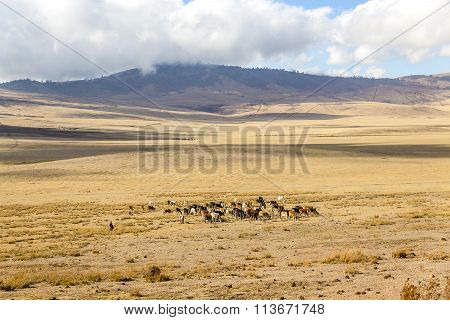 Masai herdsmen and cows walking in the Ngorongoro crater in Tanzania, Africa. poster