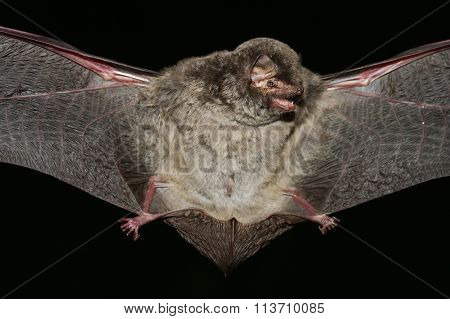 Schreiber's Bat  Open Wings On  Black