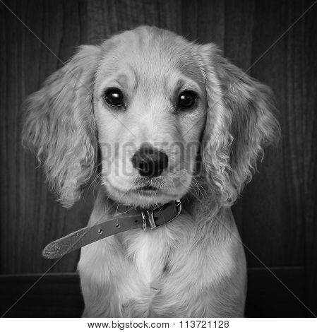 Cocker Spaniel Pup Black And White Portrait.