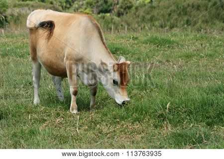 Cow Swishing Tail