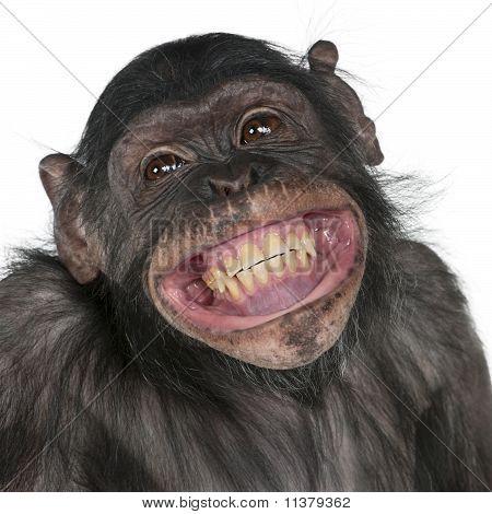 Primer plano de raza mixta mono entre el chimpancé y el Bonobo sonriendo, 8 años de edad