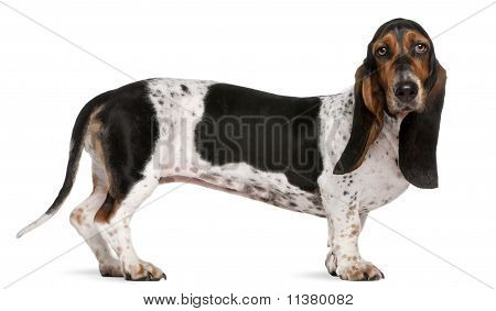 Basset Artésien Normand (11 Months Old), Mixed-breed (4 Years Old)