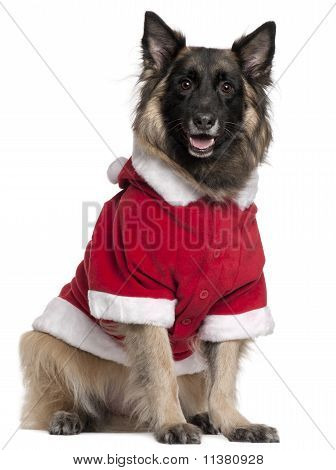 Belgian Shepherd dog or Tervuren wearing Santa outfit 11 years old sitting in front of white background poster