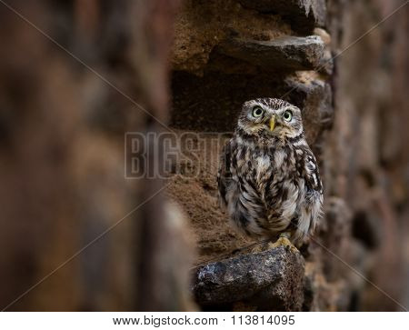 Closeup of an Eastern Screech Owl perching on a stone wall.