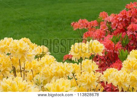 Yellow And Red Rhododendrons.