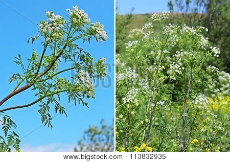 Spotted Hemlock (conium Maculatum) - Biennial Herbaceous Plant Species Of The Genus Hemlock (conium)