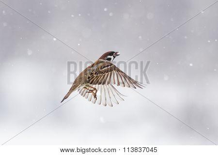 the Sparrow flies in winter