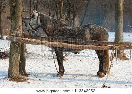 Lonely dappled mare in winter outdoor stall