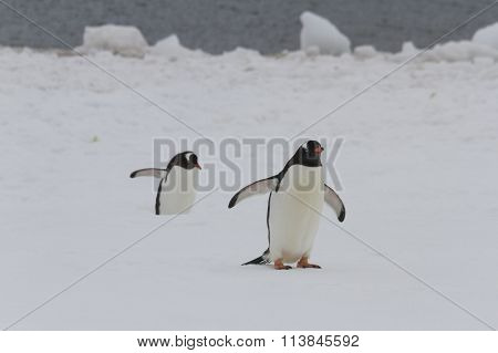 Walking Gentoo Penguins