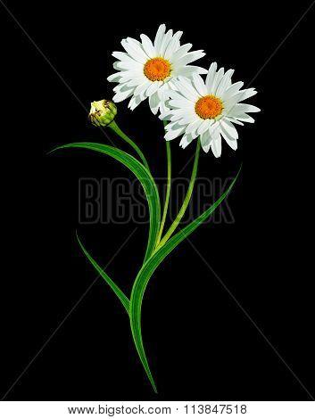 Daisy Flower Isolated On Black Background