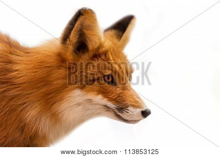 Head Of Red Fox Isolated On White