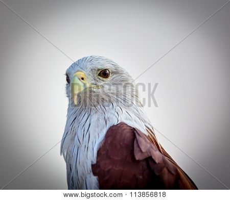 Brahiminy Kite, comon bird of prey seen flying over bangalore